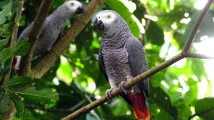 Орнитолог для попугая жако